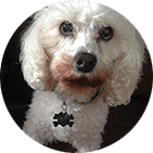 Bichon-cavalier spaniel dog that is white and named Brew who's owner shared a ToeGrips testimonial