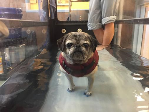 dog wearing ToeGrips nonslip nail grips in an underwater treadmill