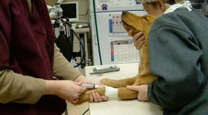 dog-pre-anesthesia-blood-draw