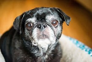 senior dog with grey muzzle and choosing whether dog is too old for anesthesia