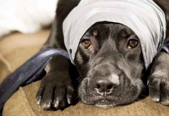 Black dog's face looking painful and sad