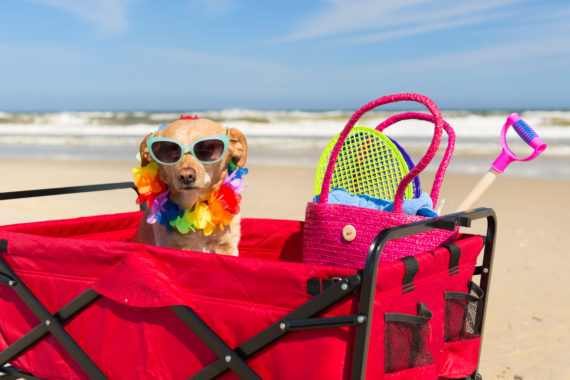 dog wearing sunglasses and sitting in wagon at the beach