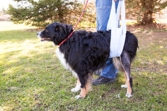 Dog with sling showing that cruciate ligament rupture is a prime example of compensatory injury in dogs