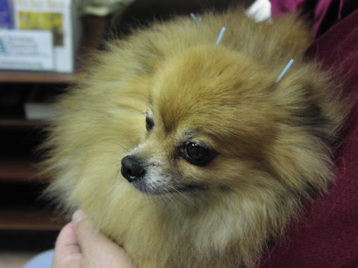 Acupuncture can be an appropriate treatment for compensatory injury in dogs like