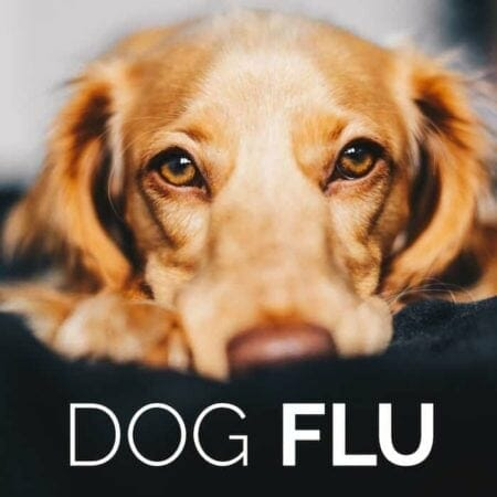 Dog Flu – Loving Your Animals and Humans in Sickness and Health