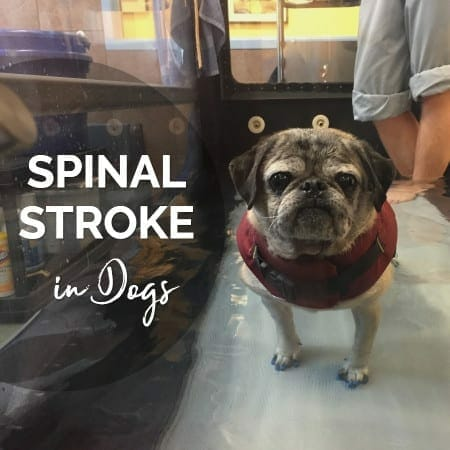 Spinal Stroke in Dogs — Help & Hope for Dogs with Fibrocartilaginous Embolism
