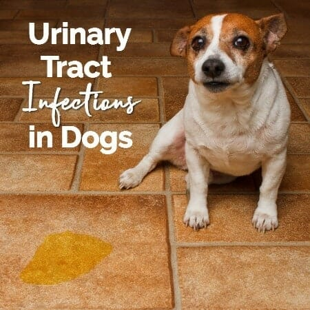What Can I Give My Dog For Uti