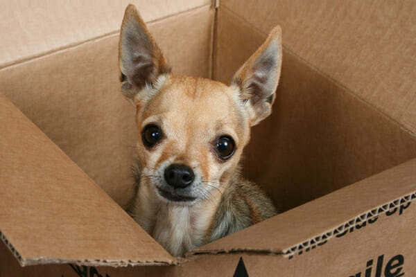 Senior Chihuahua sitting inside a cardboard box. Getting stuck in places is one sign on the CCD checklist, photo