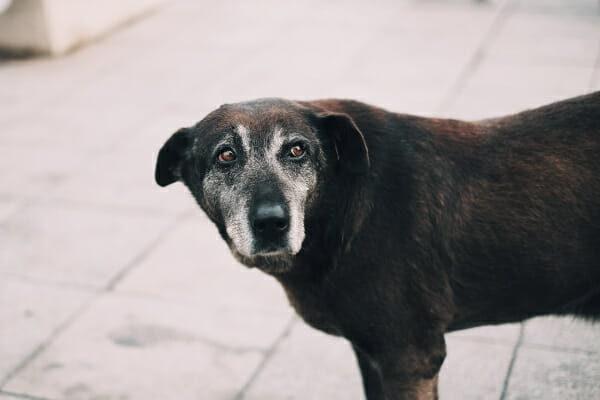Senior Labrador mix standing outside on the patio, photo