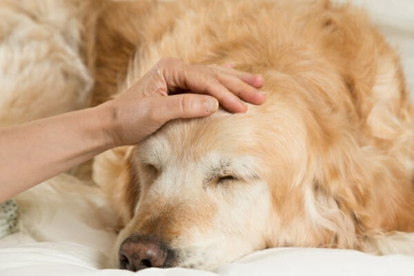 Senior Golden Retriever sleeping on the bed, owner patting his head perhaps concerned about CCD, photo