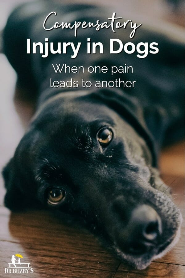 black dog lying on floor and title compensatory injury in dogs how one pain leads to another