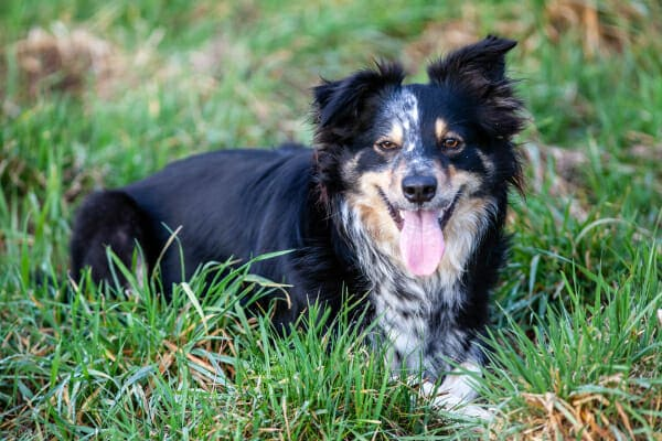 Aussie mix laying in the grass panting, photo