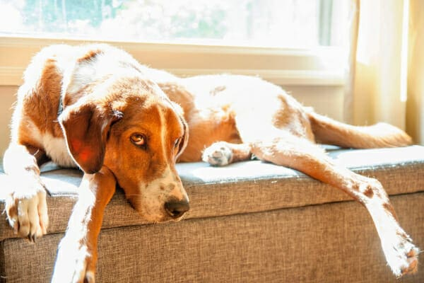 Hound dog mix laying down on a window seat in the sun, photo