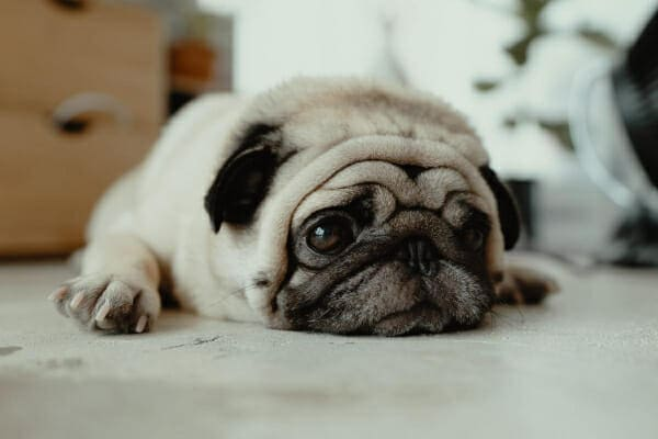 Pug laying down on the floor at home, photo