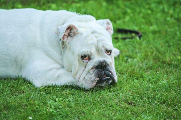 White bulldog lying in the grass, photo