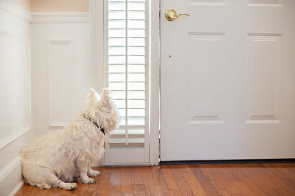 West Highland White Terrier sitting at the front door, waiting to go out to potty, photo