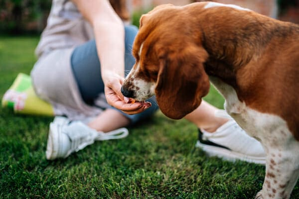 Owner feeding their Beagle some medication hidden in a treat, photo