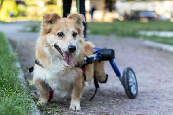 Corgi mix in a doggie wheelchair, at the park, photo
