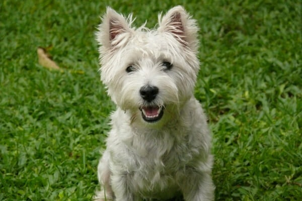 West Highland White Terrier, playing in a grassy lawn, photo