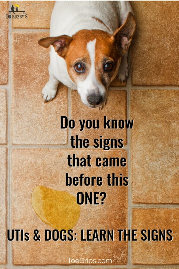 image of dog looking up and urine puddle beside him with title: UTI in Dogs: Do you know the signs that came from this one?