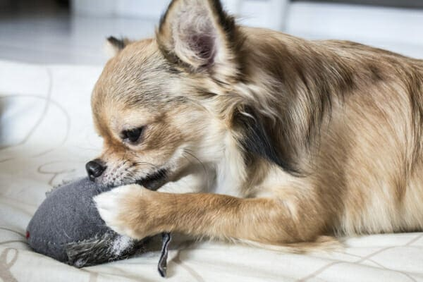 Longhaired Chihuahua on the bed, chewing a soft chew toy, photo
