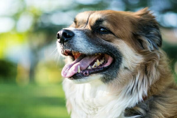 Collie Mix panting, teeth covered in tartar are visible, photo
