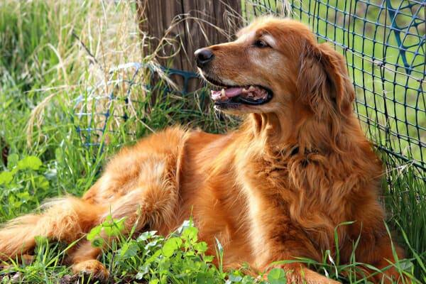 Senior Golden Retriever sitting along a fence in the grass, photo