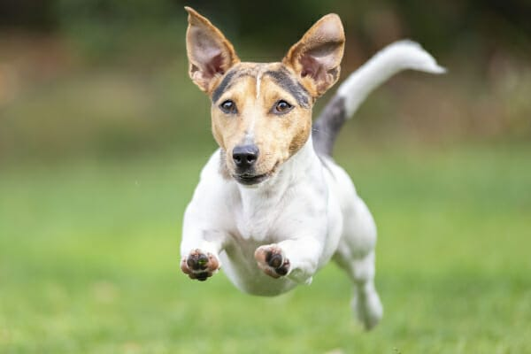 Jack Russel Terrier running in full flight through a field, photo
