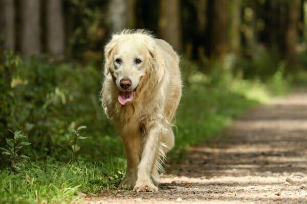 Senior Golden Retriever walking down a forest path, photo