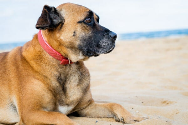 Boxer mix laying in the sand on the beach, photo