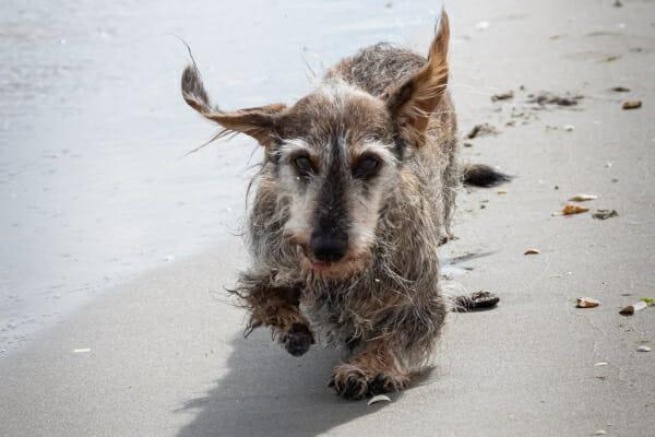 Long haired Dachshund running on the beach, photo