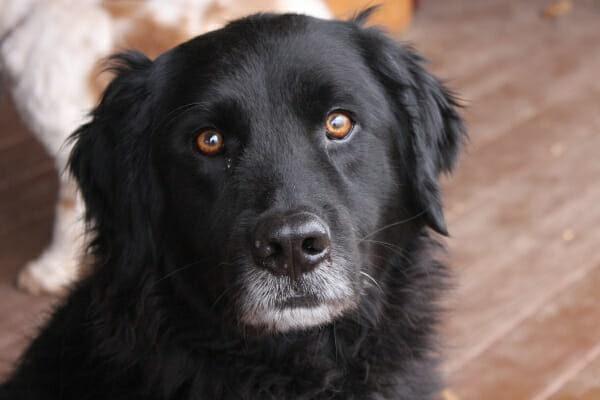 Senior black longhaired dog sitting on the deck, photo