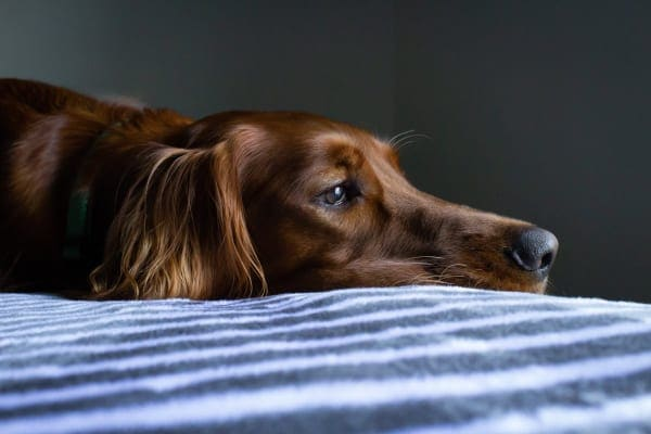 Golden retriever laying on a bed, photo