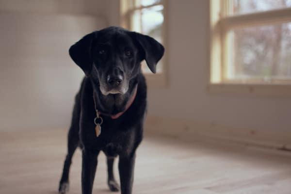 Senior black lab dog in room, photo