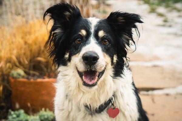 Senior border collie looking happy, photo