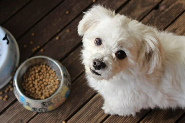 Small white dog, looking up and away from his food dish, photo