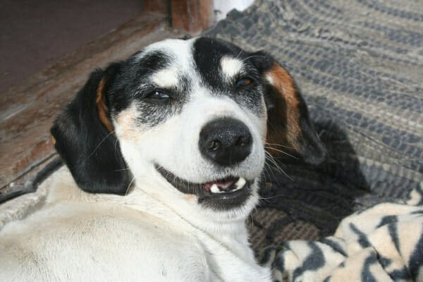 Senior hound dog, laying on the rug and looking up with a dog smile, photo