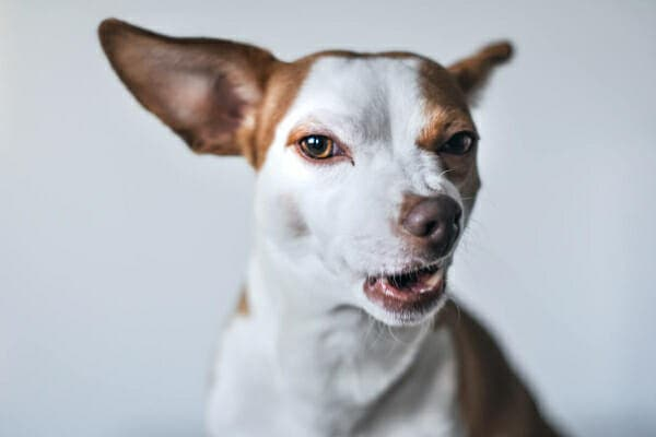Chihuahua turning his nose up at something that doesn't smell good, photo