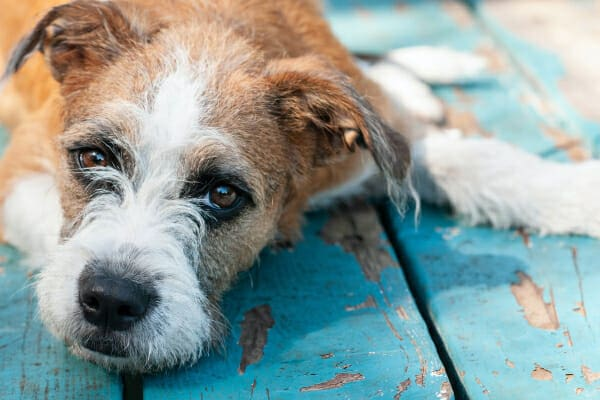 Terrier laying on the deck, not feeling well, photo