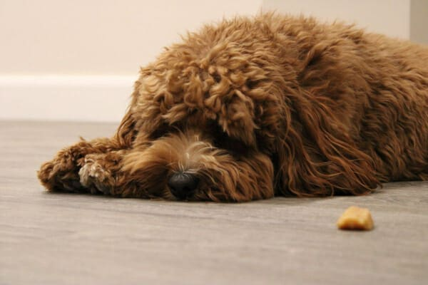 Doodle mix laying down, that won't take the hidden medication, photo