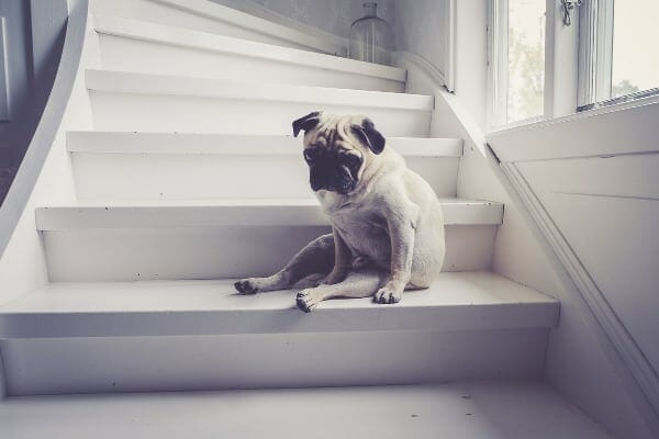photo of sad old dog with arthritis sitting on stairs