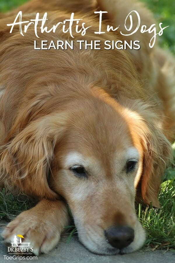 photo of old golden retriever dog lying down and title arthritis in dogs learn the signs