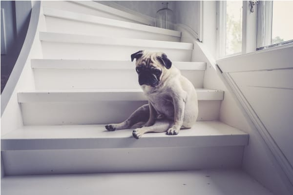 arthritis in dogs example of pug sitting on stairs as a home modification example photo