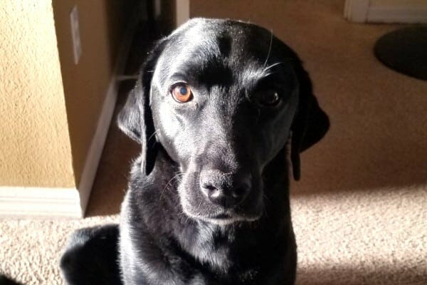 Sweet face of a labrador retriever dog who was diagnosed with hemangiosarcoma, photo