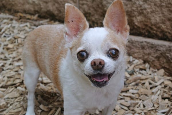 Chihuahua panting, outside in the mulch, photo