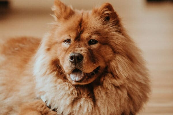 Chow Chow sitting in the home, panting, photo