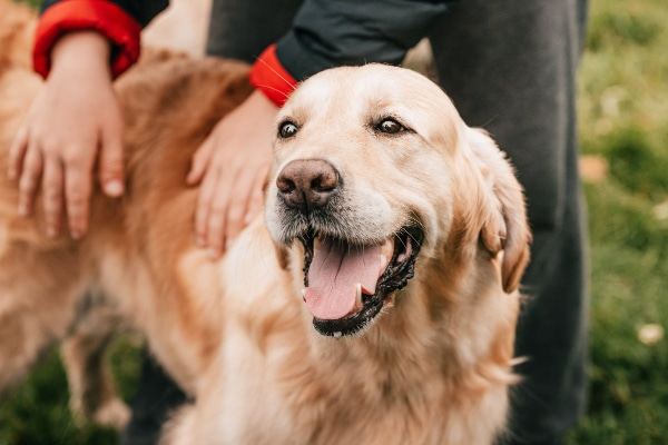 Golden Retriever being pet in a park, panting, photo
