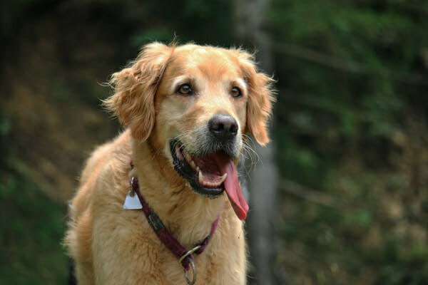 Golden Retriever heavily panting while in the woods on a walk, photo