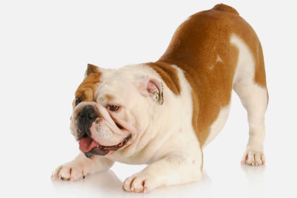 Bulldog stretching in a prayer or yoga-like position, photo