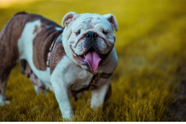 photo of bulldog as example of a type of dog with a flat face and higher risk for heat stroke in dogs